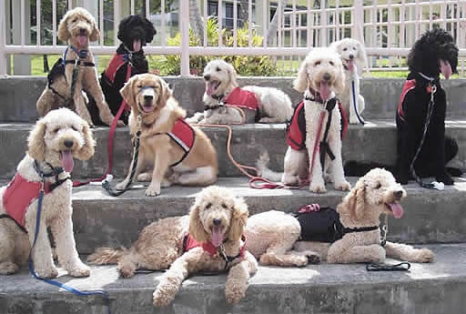 The Many Types Of Goldendoodle F1 F1b F2 F2b Doodles