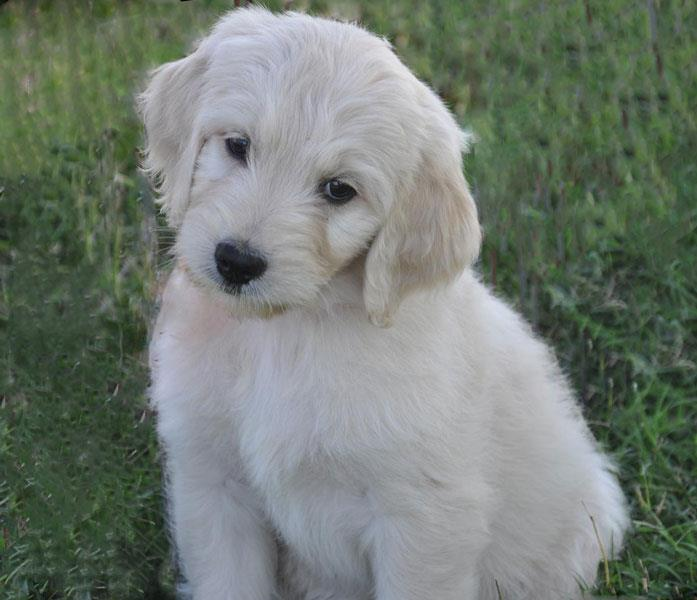 How To Groom A Goldendoodle Dog Grooming Tips