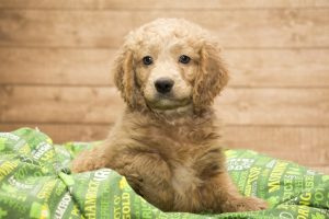 Goldendoodle Puppy | Puppy Toilet Training